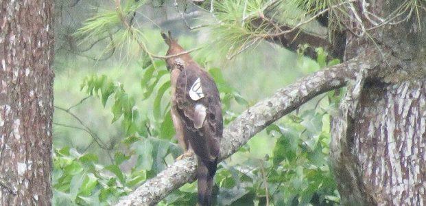 Melihat Habitat Elang Jawa di BBKSDA