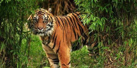 Harimau Sumatera Berkeliaran di Indragiri Hilir