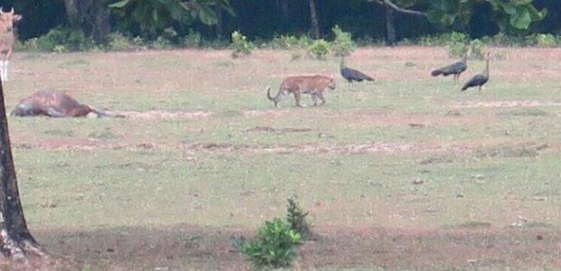 Ranger TNUK Melihat Hewan Diduga Kuat Harimau Jawa