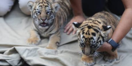 Kebun Binatang Pamer Dua Bayi Harimau