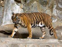 2 Harimau Dilepas ke Rimbo Panti