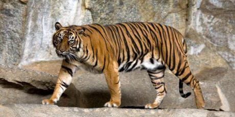 Cara Warga DKI Selamatkan Harimau Sumatera