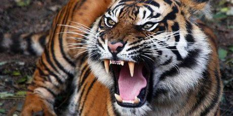 Pakar: Harimau Bukan Binatang Rakus
