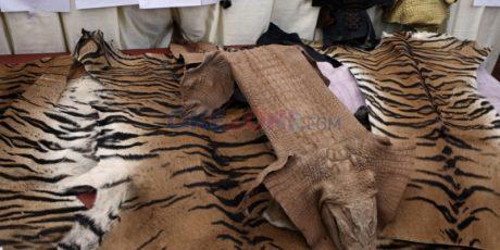 Pelaku Sentrum Harimau Ditangkap