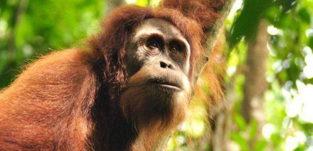 Tubuh Orangutan Dipenuhi Puluhan Peluru