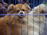 Relawan Selamatkan Anjing Liar di Gunung Agung
